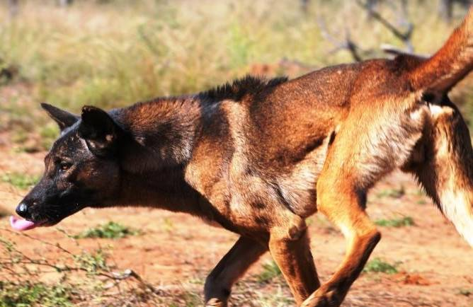 A wild dog has made fast work of a high-tech exclusion fence, even if it was going the wrong way.